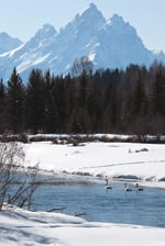 Trumpeter swans swim in the Snake River in front of the Teton mountain range.