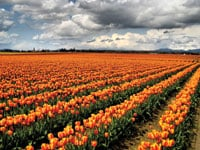Large fields of tulips are on display during the Skagit Valley Tulip Festival.