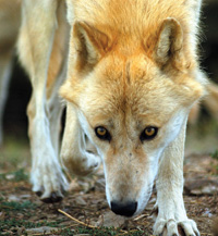 Gray wolves can be seen at the California Wolf Center in Julian.