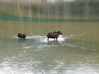 Moose can be seen in Jasper National Park.