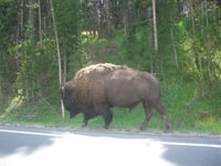 You can get a closeup look at wildlife at Yellowstone National Park.