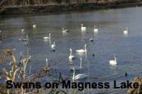 b2ap3_thumbnail_ARLINEMany-swans-Magness-Lake.jpg