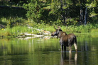 A moose wades across Henry's Fork.