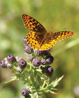 A butterfly lands on a thistle.