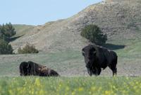 Bison are easy to find at Badlands National Park.
