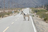 A donkey slowly crosses the road.