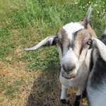 Great Escapes: The One and Only Goat Museum in the United States