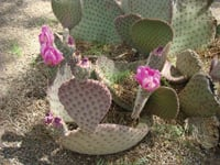 Plant life blooms along the Apache Trail.