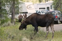 A moose walks through a campground at Grand Teton National Park.