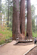 Walkways provide an easy way to see the giant sequoias.