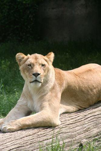 ARLINE-Lioness.jpg