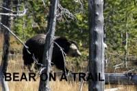b2ap3_thumbnail_ARLINEBear-On-a-Trail-credit-Norm-Denton.jpg