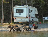 Grizzly bears wander past a truck camper in the Chilcotin area.