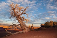 A twisted tree reflects the desert climate of Dead Horse Point State Park.