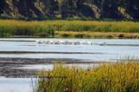 b2ap3_thumbnail_ARLINE-Pelicans-on-Silver-Lake-Harriman-State-Park.jpg