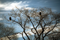 Bald eagles roost in trees in the Klamath Basin.