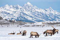 Rocky Mountain elk gather at the National Elk Refuge in Wyoming.