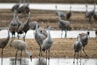 The Platte River Valley has the world's largest gathering of sandhill cranes.
