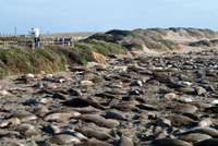 Northern elephant seals line the shore on the California coast.