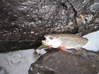 Cutthroat trout can become bait.