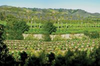 Citrus and avocado trees dot the landscape around Santa Paula.
