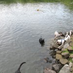 A Swim Park for Dogs