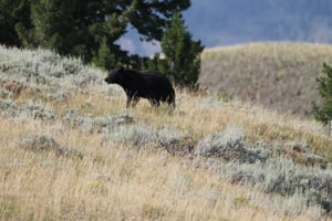 Black Bear Crossing a Meadow at Yellowstone