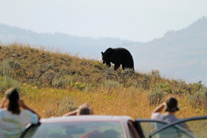 Keeping a Safe Distance From a Bear in Yellowstone