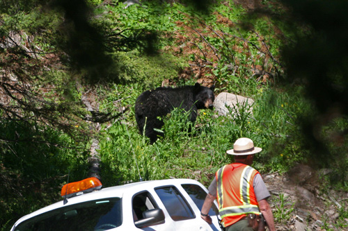 Yellowstone Ranger Keeping Visitors a Safe Distance From a Bear