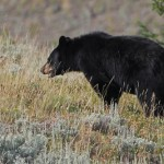 A Fed Bear is a Dead Bear!