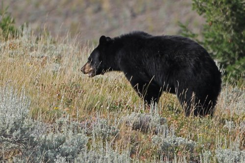 Black Bear in Wild at Yellowstone National Park