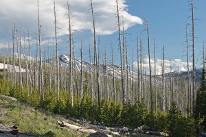 Bleacher Lodgepole Pines Decades After Fire