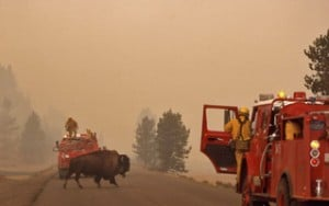 Wildfires Affect Animals