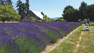 Lavender farms Washington