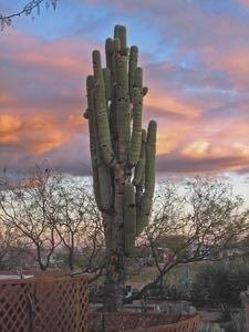 Methuselah saguaro cactus