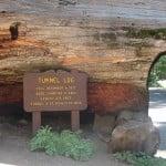 Majestic Sequoias for RV Trekkers