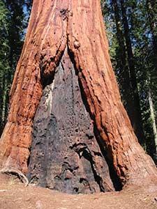 Sequoia-giant