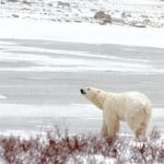 Manitoba's Polar Bears Part I