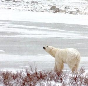 Polar Bear Sniffing