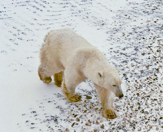 Hudson Bay Polar Bear