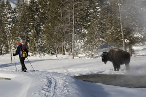 Passing a bison in Geyser Basin Photo Credit: Donna Ikenberry