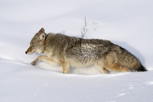 Canis Latrans Photo Credit: Donna Ikenberry