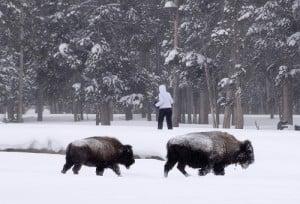 Bison bison