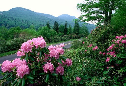 Azaleas in Bloom on the Blue Ridge Parkway.