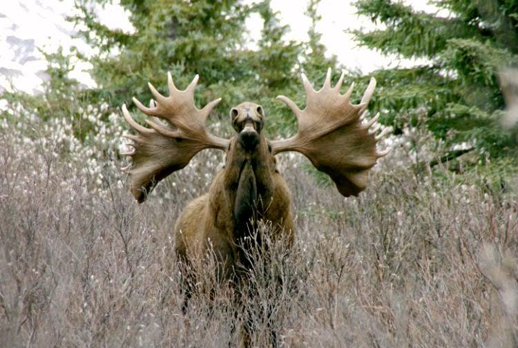 find moose in rut