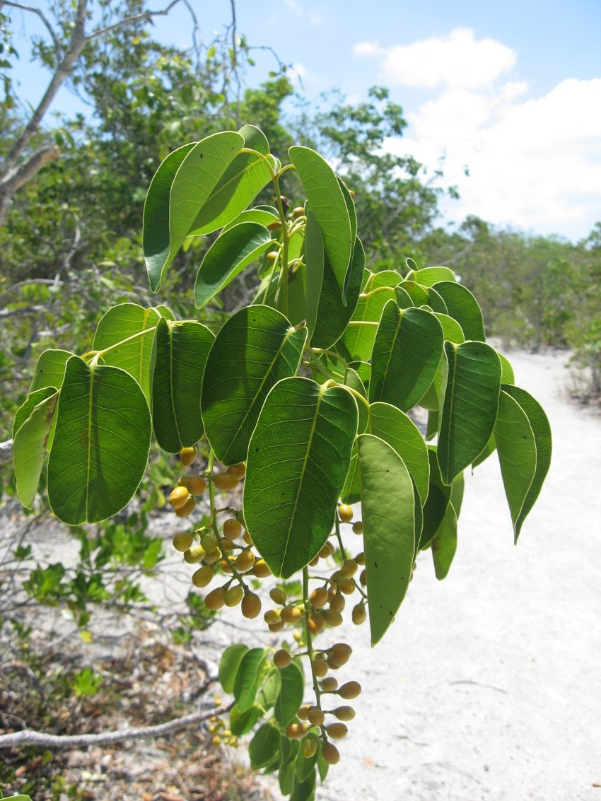 wild plants to avoid when camping