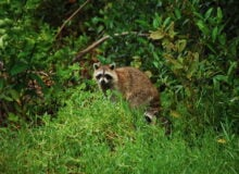 5 Ways To Prevent Raccoons From Invading Your Campsite