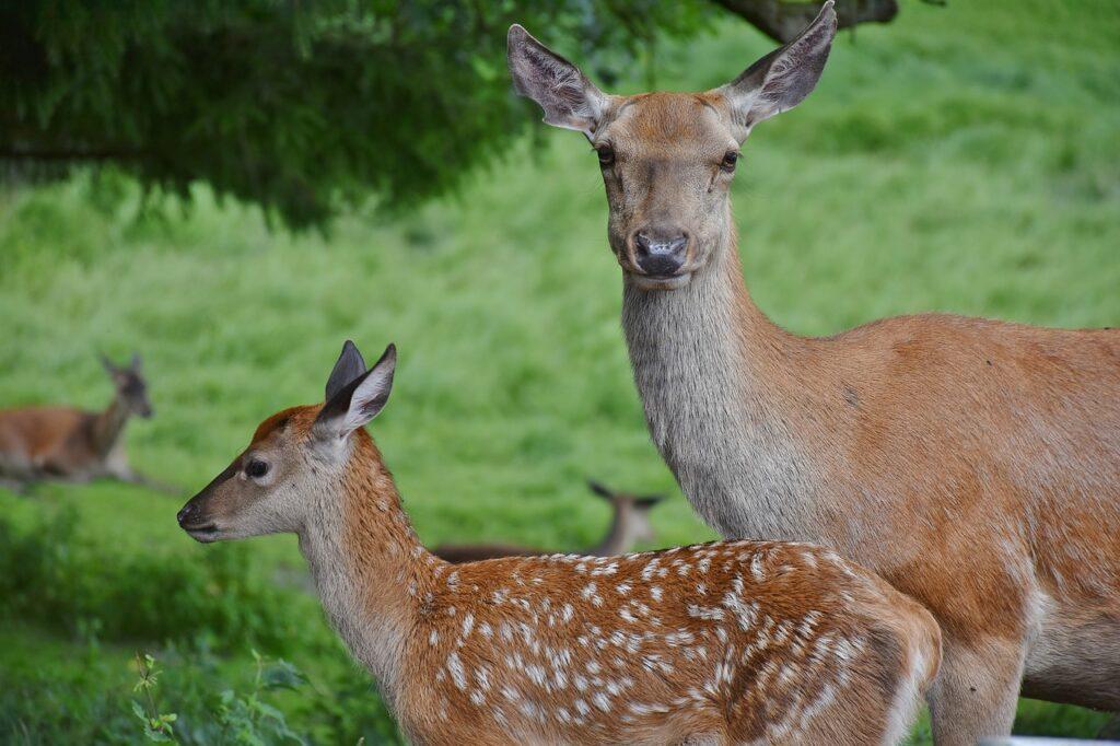mother deer attack