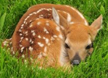 Why a Springtime Deer Attack isn't So Unusual