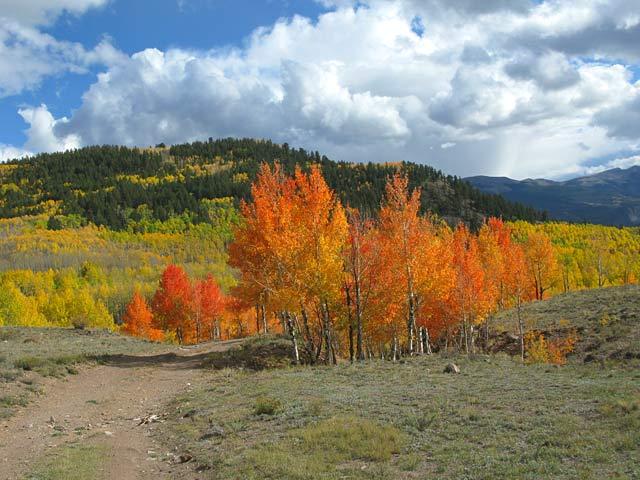 Colorado Aspen Leaves